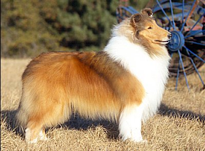 Example of a Twin City collie.