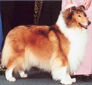 Example of a rough sable collie female at the show.
