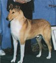 Example of a smooth sable collie male.