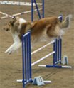 Example of a rough sable collie jumping over the high jump in agility..