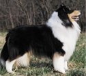 Example of a tri color Barksdale collie.