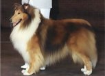 Mahogany sable male collie.