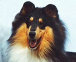 Example of a Blu Ridge collie.